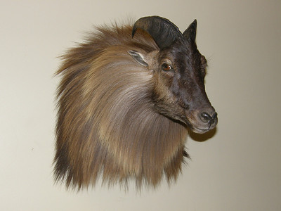 Himalayan Tahr Shoulder Mount Anderson Taxidermy & Guide Service, Inc.  www.THEHUNTPRO.com