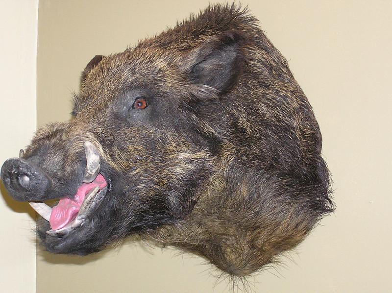 Wild Boar Shoulder Mount Anderson Taxidermy & Guide Service, Inc.  www.THEHUNTPRO.com