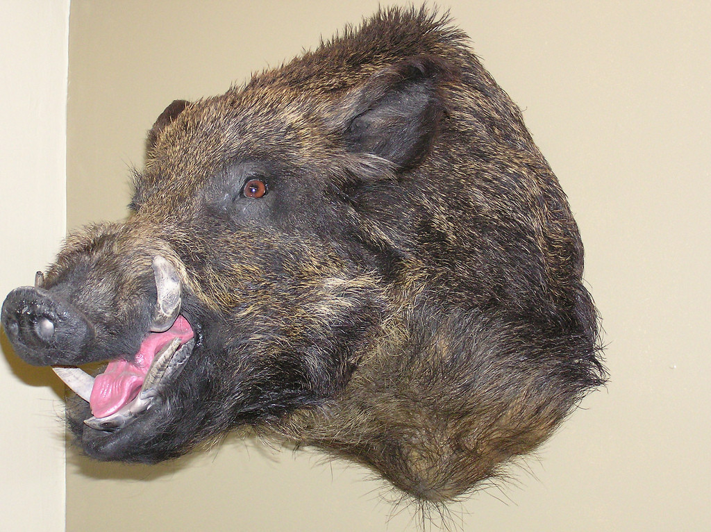 Wild Boar Shoulder Mount
