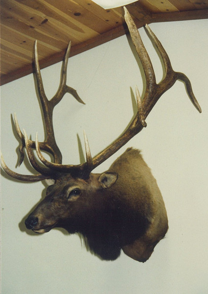Rocky Mountain Elk Shoulder Mount Anderson Taxidermy & Guide Service, Inc.  www.THEHUNTPRO.com