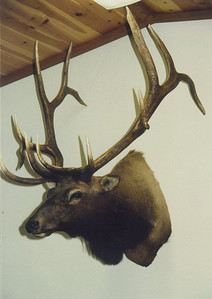 Rocky Mountain Elk Shoulder Mount Anderson Taxidermy & Guide Service, Inc.  www.THEHUNTPRO.com
