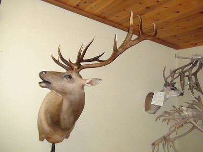 Tule Elk Shoulder Mount Anderson Taxidermy & Guide Service, Inc.  www.THEHUNTPRO.com