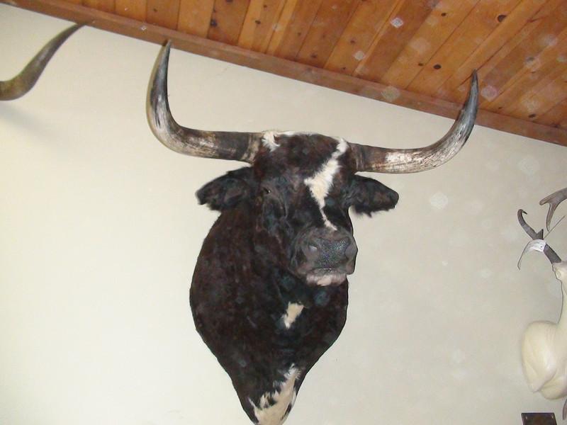 Longhorn Steer Shoulder Mount Anderson Taxidermy & Guide Service, Inc.  www.THEHUNTPRO.com