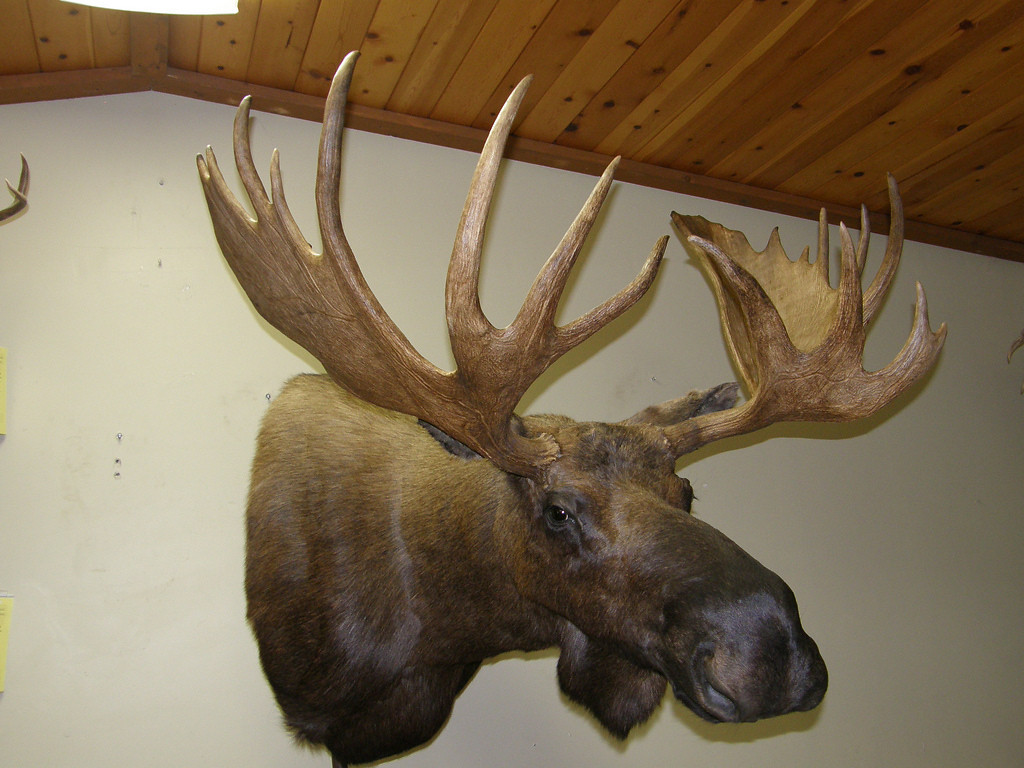 Alaskan Yukon Moose Shoulder Mount Anderson Taxidermy & Guide Service, Inc.  www.THEHUNTPRO.com