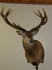 Red Stag Shoulder Mount Anderson Taxidermy & Guide Service, Inc.  www.THEHUNTPRO.com