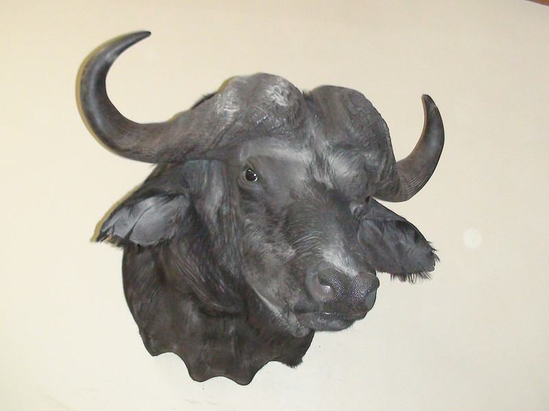 African Cape Buffalo Shoulder Mount