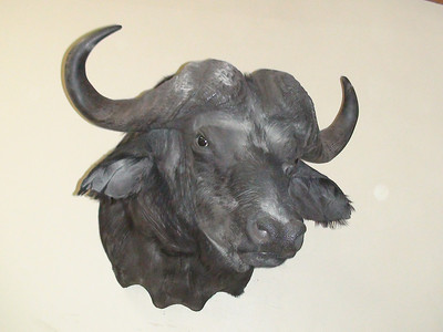 African Cape Buffalo Shoulder Mount Anderson Taxidermy & Guide Service, Inc.  www.THEHUNTPRO.com