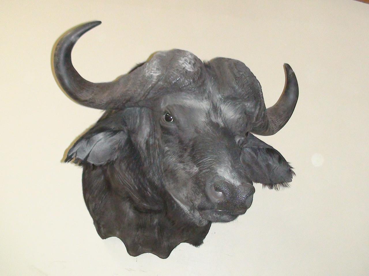 African Cape Buffalo Shoulder Mount Anderson Taxidermy & Guide Service, Inc.  www.THEHUNTPRO.com