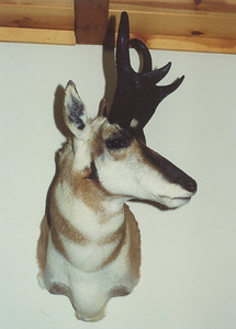 Pronghorn Antelope Shoulder Mount Anderson Taxidermy & Guide Service, Inc.  www.THEHUNTPRO.com