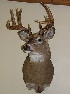 Whitetail Deer Shoulder Mount Anderson Taxidermy & Guide Service, Inc.  www.THEHUNTPRO.com