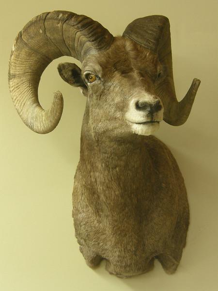 Rocky Mountain Bighorn Sheep Shoulder Mount Anderson Taxidermy & Guide Service, Inc.  www.THEHUNTPRO.com