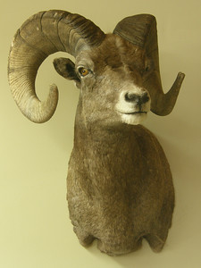 Rocky Mountain Bighorn Sheep Shoulder Mount Anderson Taxidermy & Guide Service, Inc.  www.THEHUNTPRO.com