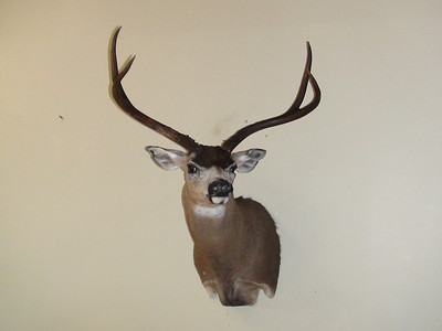 California Blacktail Deer Shoulder Mount Anderson Taxidermy & Guide Service, Inc.  www.THEHUNTPRO.com