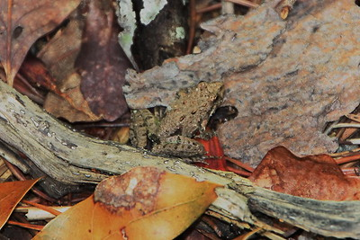 Eastern Cricket Frog