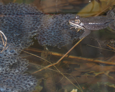Wood Frogs with egg mass