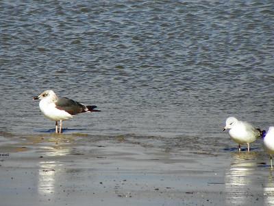Lesser Black-backed Gull with Ring-billed Gulls