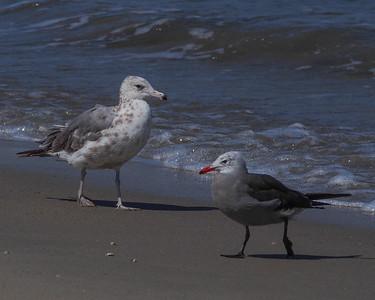 California Gull (3rd Cycle) and Heermann's Gull