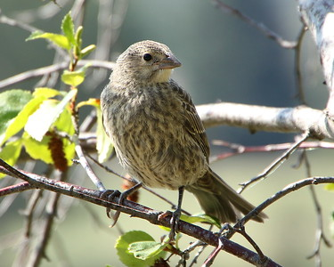 Brown-headed Cowbird, juvenile