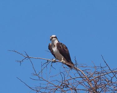 "Osprey, female (brown ""necklace"")"