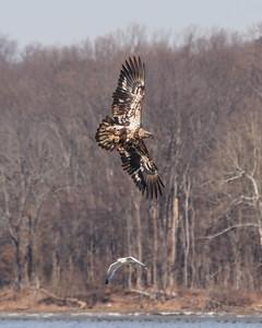 Bald Eagle, 2nd year