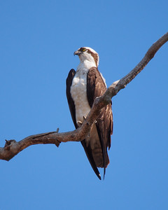 Osprey, male
