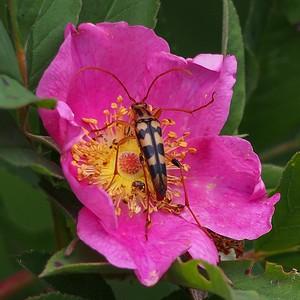 Flower Longhorn Beetle - Strangalia luteicornis - on Sweet Brier Rose