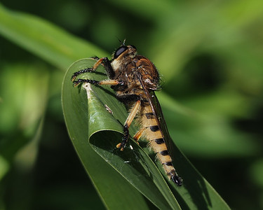 Red-footed Cannibalfly