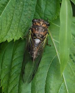 Southern Resonant Cicada