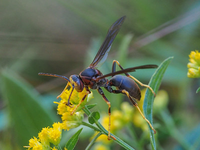 Northern Paper Wasp - Polistes fuscatus
