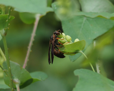 Northern Paper Wasp on Mile-a-minute