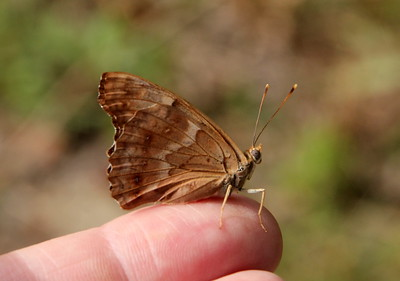 Friendly Tawny Emperor