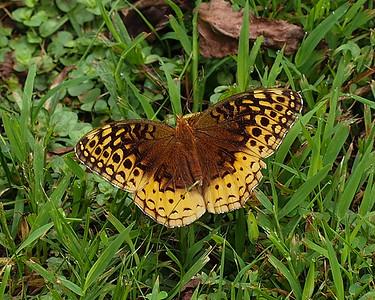 Great Spangled Fritillary, female