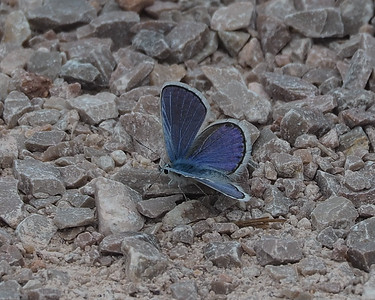 Blue Copper, male
