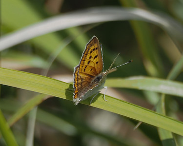 Ruddy Copper, female