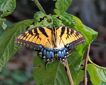 Eastern Tiger Swallowtail, female