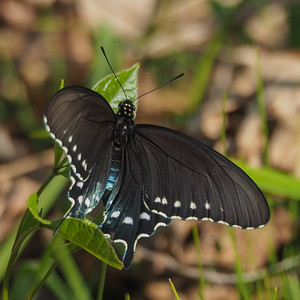 Pipevine Swallowtail, female