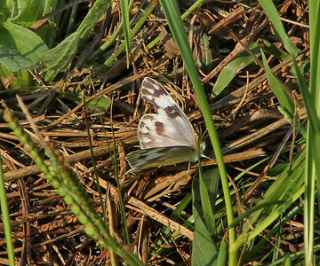 Checkered White, female