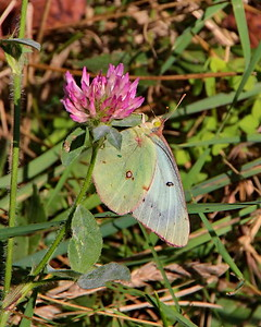 Clouded Sulphur, female