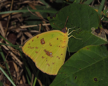 Cloudless Sulphur, female