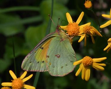 Orange Sulphur, female