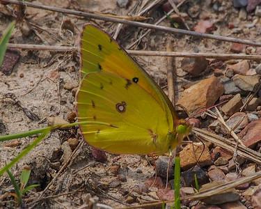 Orange Sulphur, male