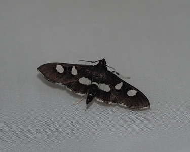 Grape Leaffolder Moth - 5159