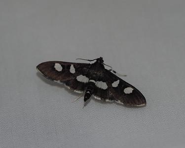 Grape Leaffolder Moth - 5159