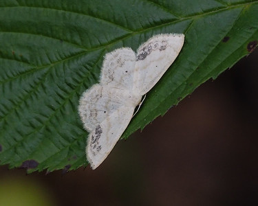 Large Lace-border (7159: Scopula limboundata)