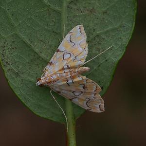 4748 - Pondside Pyralid moth - Elophilia icciusalis