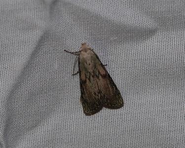 The Bee Moth - 5629
