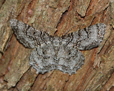 Tulip-tree Beauty Moth (6599: Epimecis hortaria)