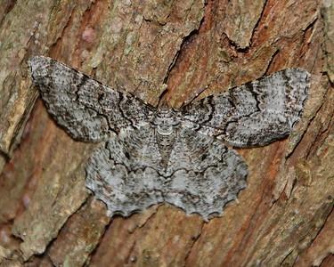 Tulip-tree Beauty Moth (6599: Epimecis hortaria)