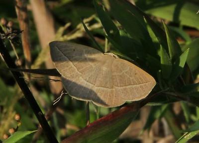 Red-fringed Emerald Moth 7046 Nemoria bistriaria)
