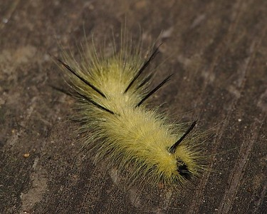 Banded Tussock moth caterpillar (8203: Halysidota tessellaris)